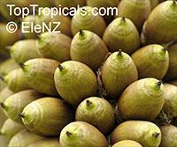 Attalea cephalotus, Scheelea cephalotes, Shapaja, American Oil PalmClick to see full-size image