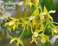 Dendrobium section Latouria, Latouria  Click to see full-size image