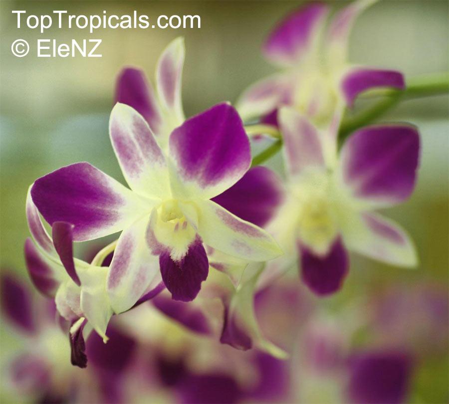 Dendrobium Phalaenopsis Dendrobium Toptropicals Com