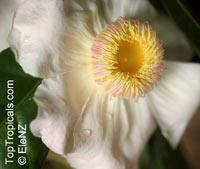 Gustavia superba, Membrillo, Heaven Lotus  Click to see full-size image