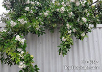 Murraya paniculata, Orange Jasmine, Orange Jessamine, Mock Orange, Lakeview Jasmine, Chinese Cosmetic Boxwood  Click to see full-size image