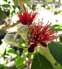 Feijoa sellowiana, Acca sellowiana, Feijoa, Pineapple Guava, Guavasteen  Click to see full-size image