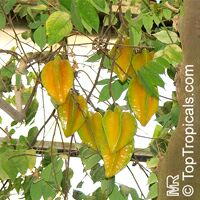 Averrhoa carambola var Dwarf Maher - Dwarf Starfruit, grafted  Click to see full-size image