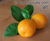 Citrofortunella sp., Calamondin