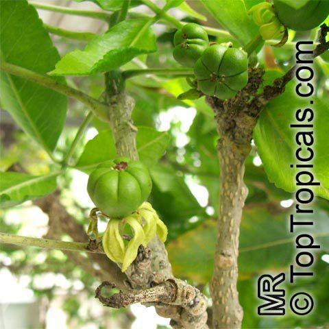 شجرة الكازميرو Casimiroa