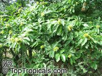 Castanea sativa, Spanish Chestnut, European Chestnut, Sweet Chestnut