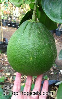 Citrus grandis, Citrus maxima, Pomelo, Pommelo, Pummelo  Click to see full-size image