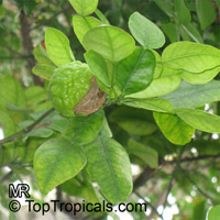 Citrus hystrix, Indonesian lime, Wild lime, Kaffir Lime  Click to see full-size image