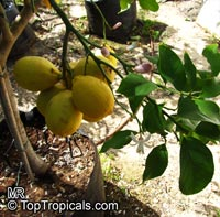 Citrus limon, Lemon