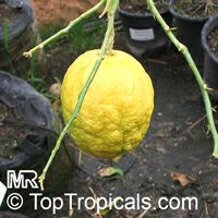 Citrus medica, Citron