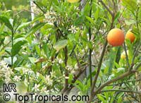 Citrus x sinensis, Orange