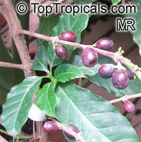 Coffea robusta (canephora) - seeds  Click to see full-size image