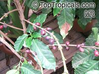 Coffea canephora, Coffea robusta, Coffee  Click to see full-size image