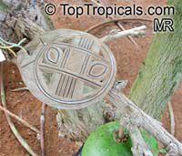 Crescentia cujete, Calabash Tree, Krabasi, Kalebas, HuingoClick to see full-size image