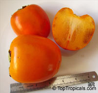 Diospyros kaki, Japanese Persimmon - seeds  Click to see full-size image