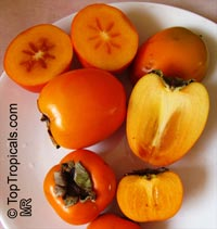 Diospyros kaki - Persimmon var. Jiro, Low chill, Grafted  Click to see full-size image