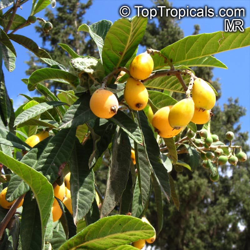 how to grow green gage plum tree from seed