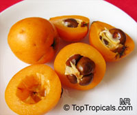 Eriobotrya japonica - Loquat Gold Nugget grafted  Click to see full-size image