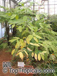 Gnetum gnemon, Melindjo  Click to see full-size image