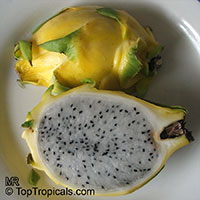 Hylocereus sp. - Yellow Pitaya, Dragon Fruit