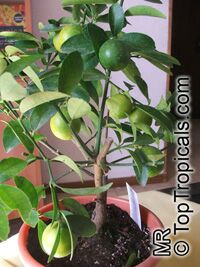 Citrus aurantifolia, Mexican Lime, Key lime, West Indian lime  Click to see full-size image