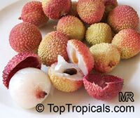 Litchi chinensis - Ohia lychee, Large size, Air-layered
