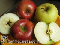 Malus domestica - Low Chill Apple Collection, Dorsett Golden and Anna, Low chill, Grafted  Click to see full-size image