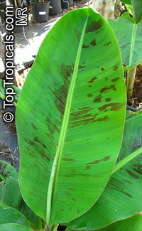 Musa sikkimensis - seeds  Click to see full-size image