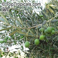 Olea europea, OliveClick to see full-size image