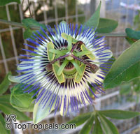 Passiflora caerulea, Common Passion Flower  Click to see full-size image