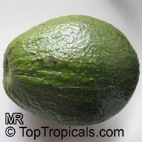 Persea americana - Avocado Simmonds - 3 gal, Grafted  Click to see full-size image