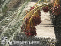 Phoenix dactylifera, Date Palm