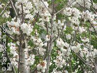 Prunus avium, Wild Cherry, Sweet Cherry  Click to see full-size image