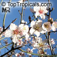 Prunus dulcis, Prunus amygdalus, Amygdalus communis, Almond  Click to see full-size image
