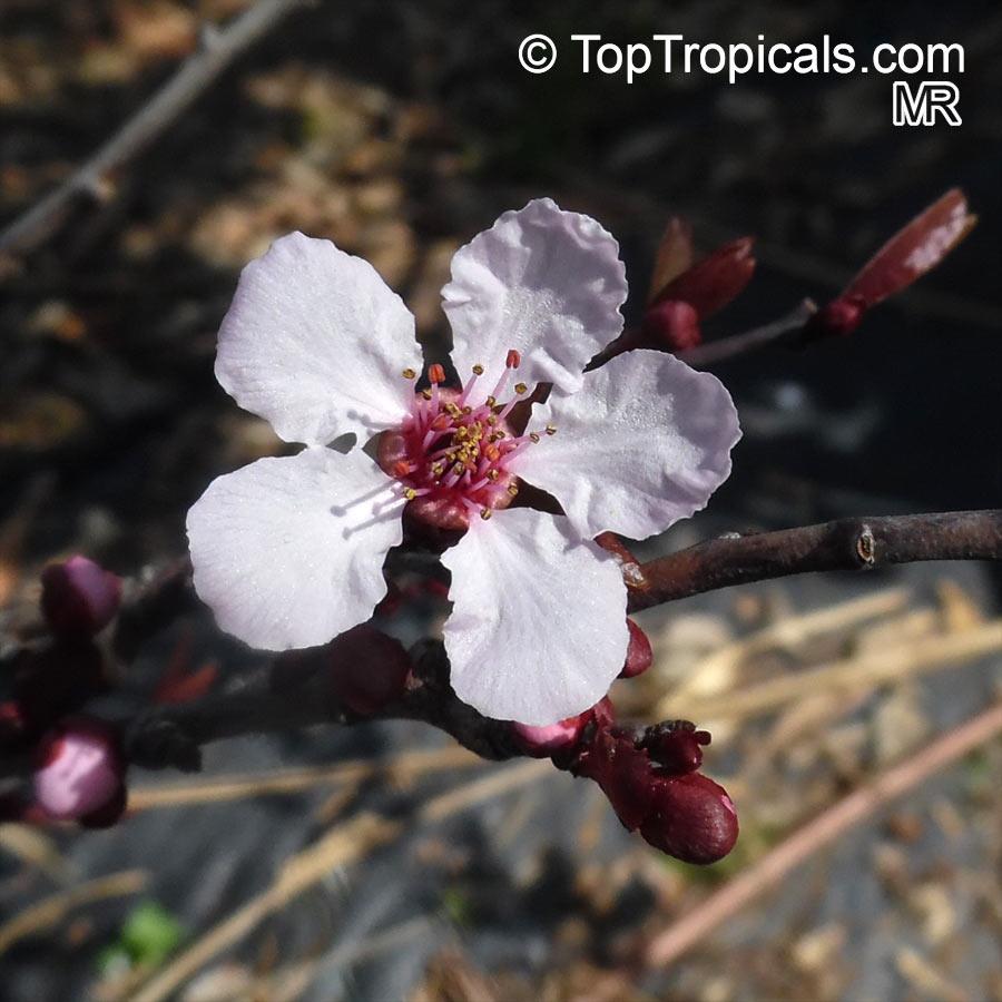 Prunus Cerasifera Prunus Divaricata Cherry Plum