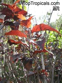Prunus cerasifera, Prunus divaricata, Cherry Plum, Myrobalan Plum, St. Lukes Flowering Plum  Click to see full-size image