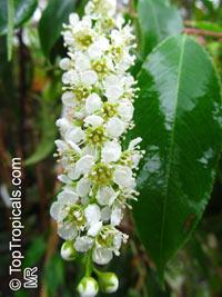 Prunus salicifolia, Prunus serotina var. salicifolia, Capulin  Click to see full-size image
