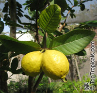 Psidium guajava - Tikal Guava Click to see full-size image