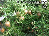 Punica granatum Nana, Dwarf Pomegranate  Click to see full-size image