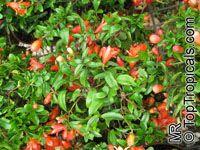 Punica granatum Nana, Dwarf PomegranateClick to see full-size image