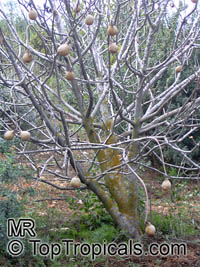 Pyrus sp., Southern Pear  Click to see full-size image