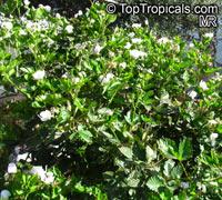 Rubus sp., Raspberrie, Blackberrie, DewberrieClick to see full-size image