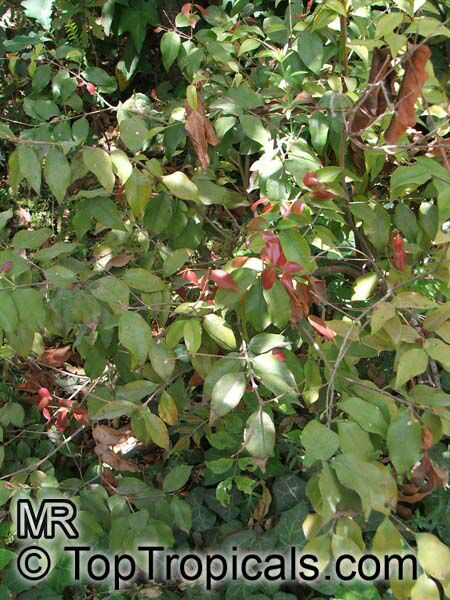 syzygium luehmannii  small leaved lilly pilly