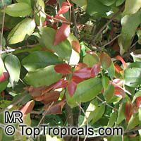 Syzygium luehmannii, Small Leaved Lilly Pilly  Click to see full-size image