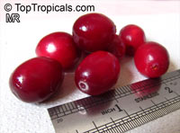 Vaccinium macrocarpon, Oxycoccus macrocarpus, Large Cranberry, American Cranberry, Bearberry  Click to see full-size image