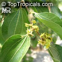 Ziziphus mucronata, Zizyphus adelensis, Zizyphus mitis, Buffalo thorn, Cape thorn  Click to see full-size image
