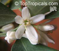 Citrofortunella sp., Calamondin  Click to see full-size image