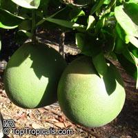 Citrus grandis, Citrus maxima, Pomelo, Pommelo, PummeloClick to see full-size image