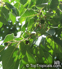 Diospyros lotus, Qua thi, Date Plum