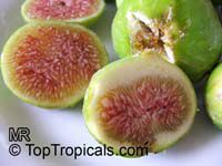 Ficus carica - Fig White Marseilles  Click to see full-size image